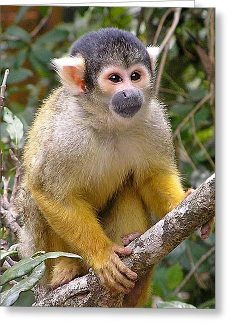 Greeting Card featuring the photograph Squirrel Monkey by Phil Stone