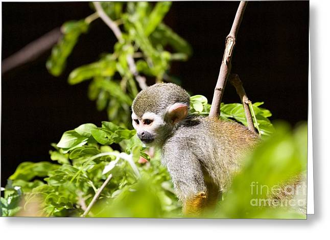 Squirrel Monkey Youngster Greeting Card by Afrodita Ellerman