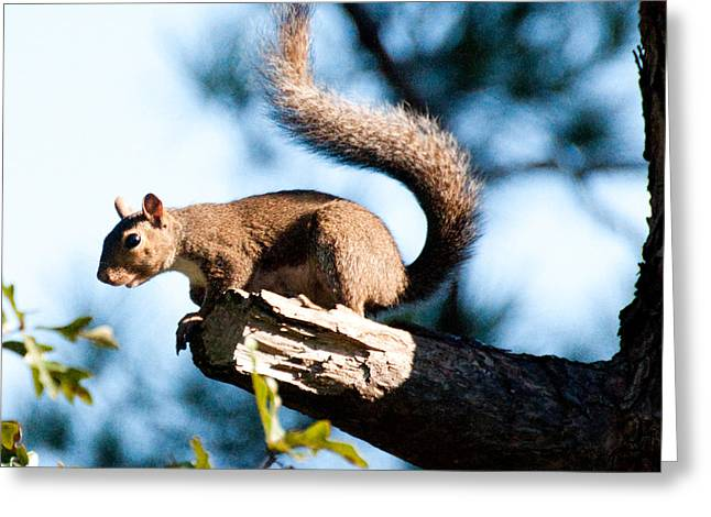 Squirrel On Limb Greeting Card by Bill Perry