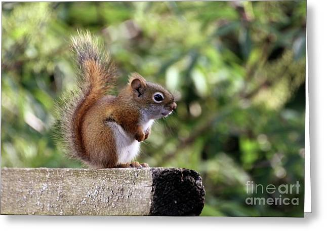 Squirrel On The Edge Greeting Card by Marjorie Imbeau