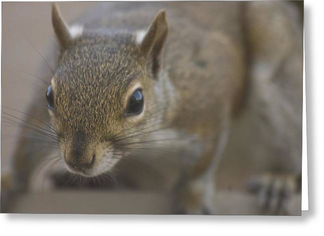 Squirrel On The Hunt Greeting Card by Anthony Towers