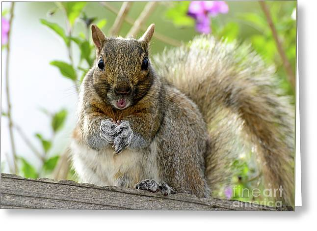 Squirrel Ready To Whistle Greeting Card by Susan Wiedmann