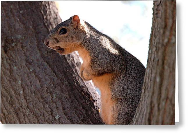 Squirrel With A Nut Greeting Card by Teresa Blanton