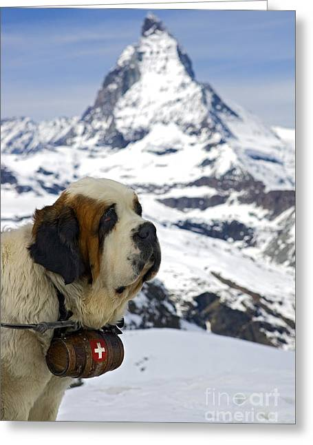 St Bernard Dog Posing In Front Of The Matterhorn Greeting Card by Henk Meijer Photography
