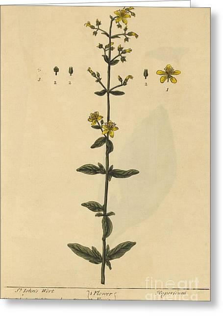 St Johns Wort, Medicinal Plant, 1737 Greeting Card
