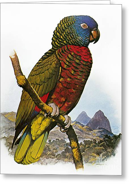 St Lucia Amazon Parrot Greeting Card by Granger