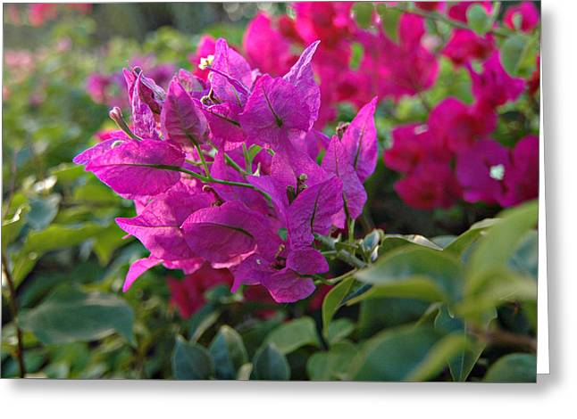 St Lucia Floral Greeting Card by J R Baldini