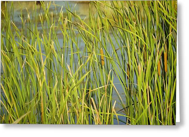 St. Marks Cattails Greeting Card by Jan Amiss Photography