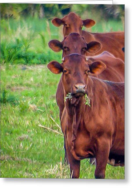 Greeting Card featuring the photograph Stacked Up Cows          by Tom Claud