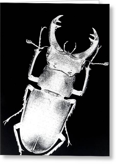 Stag Beetle Greeting Card by Gabriela Insuratelu