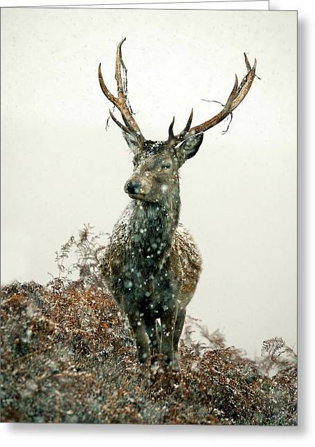 Greeting Card featuring the photograph Stag In Snow by Gavin Macrae