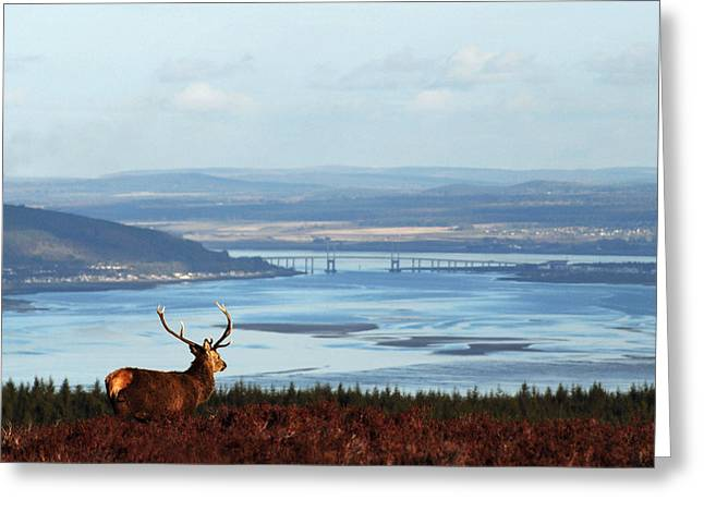 Stag Overlooking The Beauly Firth And Inverness Greeting Card