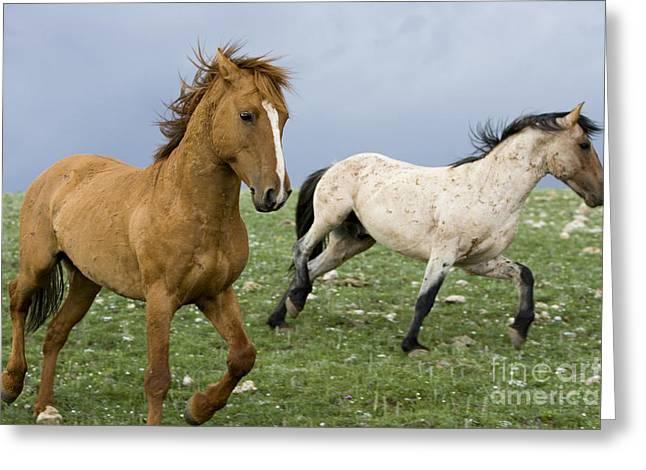 Stallion Dominance Behavior Greeting Card