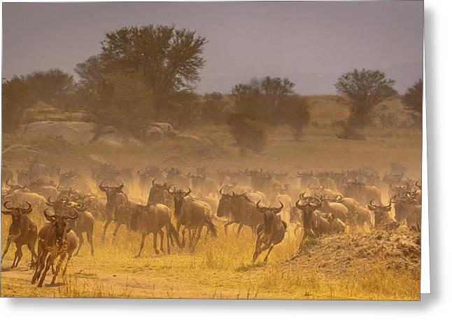 Stampede-serengeti Plain Greeting Card