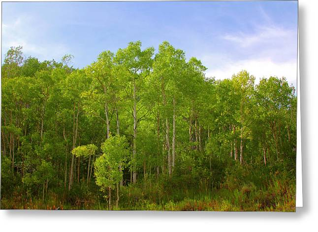 Peaceful Scene Greeting Cards - Stand of Quaking Aspen trees Greeting Card by Christine Till