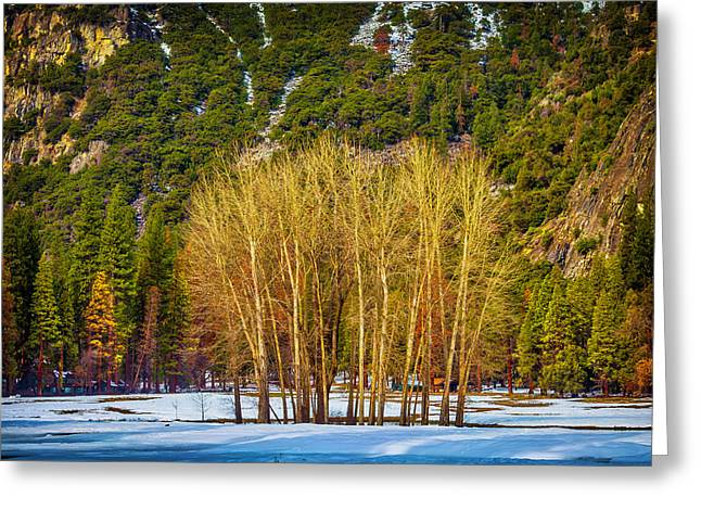 Stand Of Winter Trees Greeting Card by Garry Gay