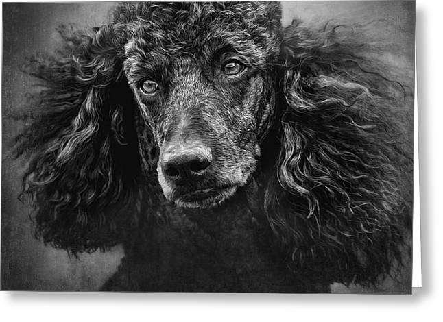 Standard Poodle Portrait 1 Greeting Card by Wolf Shadow  Photography