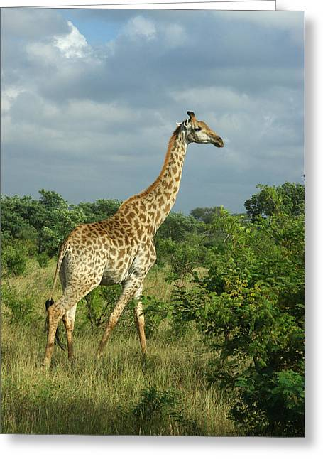 Standing Alone - Giraffe Greeting Card