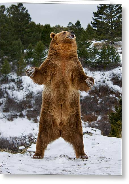 Standing Grizzly Bear Greeting Card