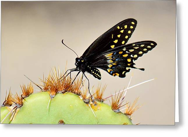 Standing On Spines - Black Swallowtail Greeting Card