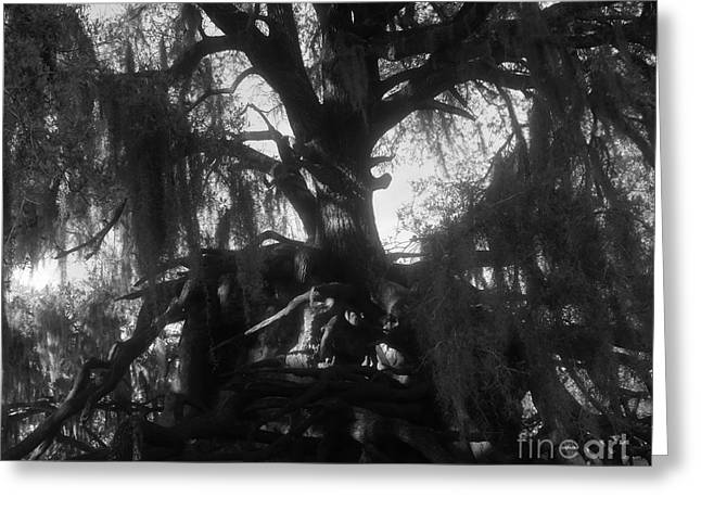 Tree Roots Greeting Cards - Standing tall Greeting Card by David Lee Thompson