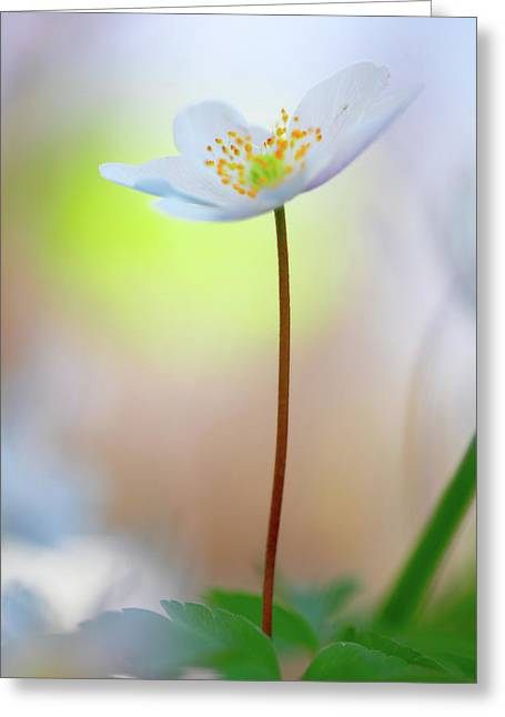 Standing Tall With Pride - Wodd Anemone Wild Flower Greeting Card