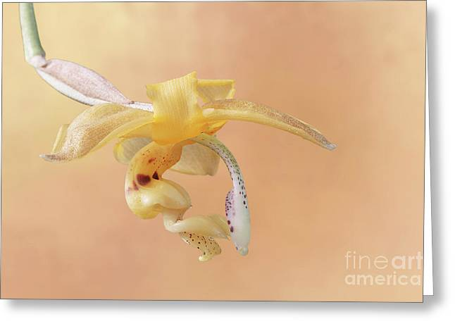 Stanhopea Orchid V2 Greeting Card