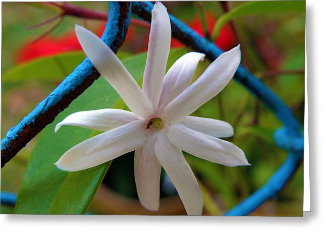 Star Jasmine Flower Greeting Card by Rose  Hill