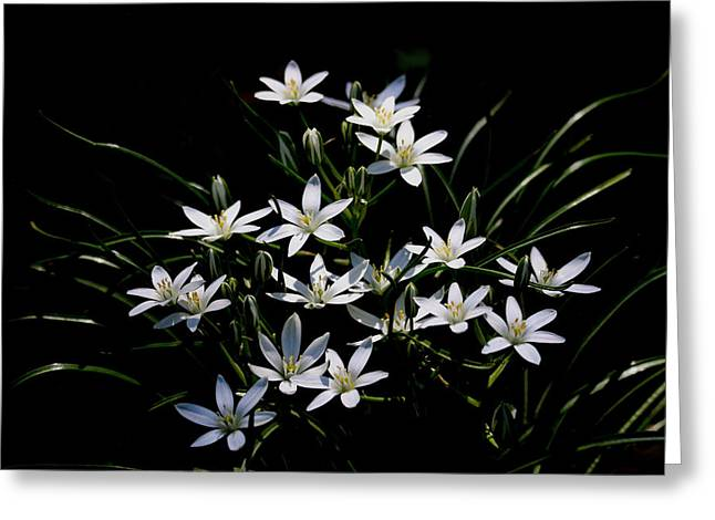 Star Of Bethlehem Greeting Card by Living Color Photography Lorraine Lynch