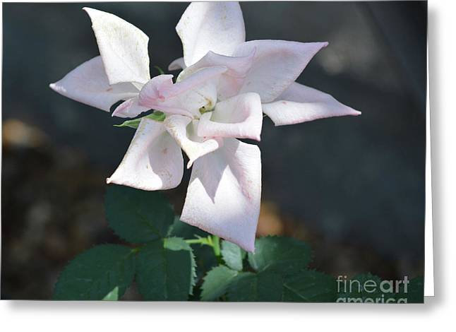 Star Shaped Rose  Greeting Card by Ruth Housley