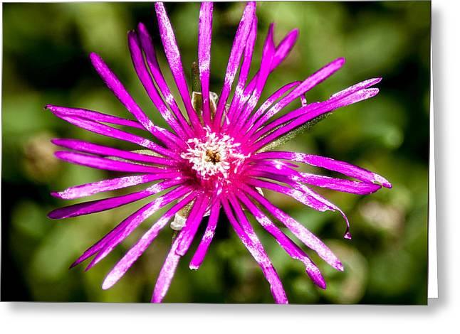 Starburst Of The Wildflowers Greeting Card by John Haldane