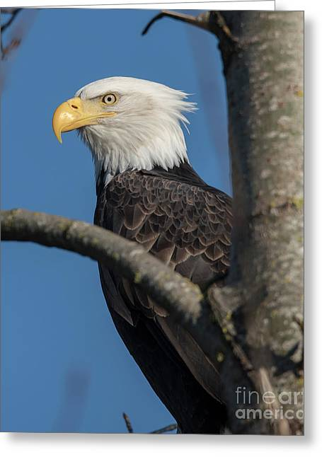 Staredown By Eagle  Greeting Card