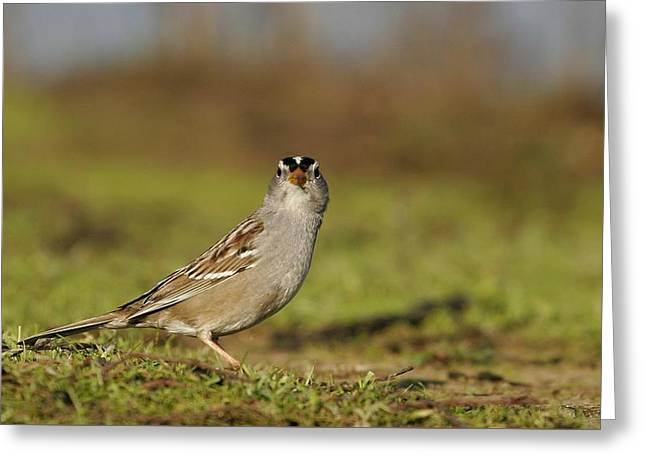 Staring Contest - White-crowned Sparrow Greeting Card by Andrew Johnson