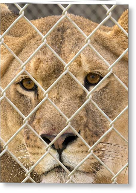 Staring Lioness Greeting Card by Travis Rogers
