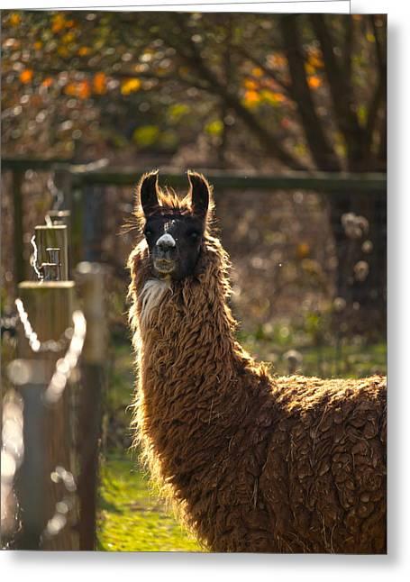 Staring Llama Greeting Card