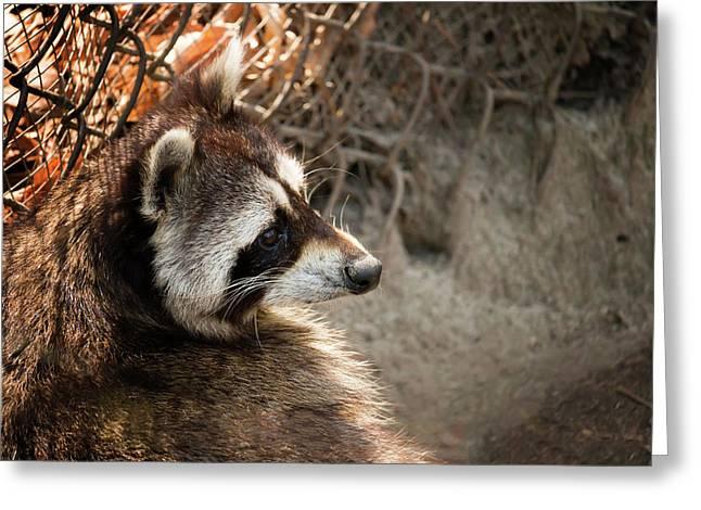 Staring Raccooon Greeting Card