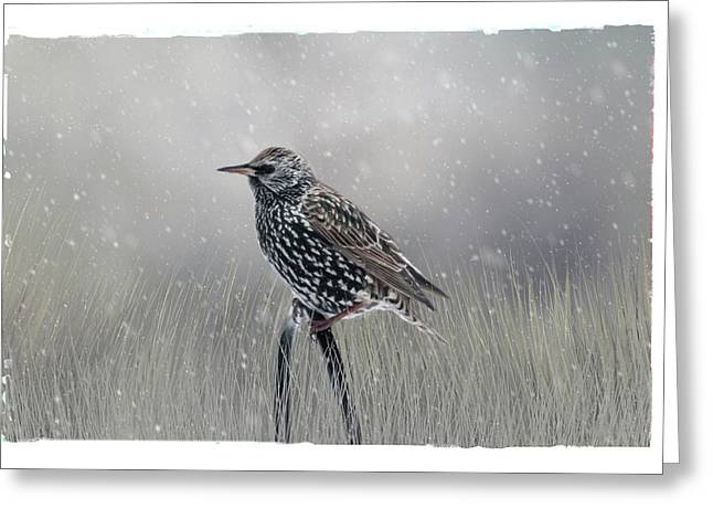 Starling In Winter Greeting Card