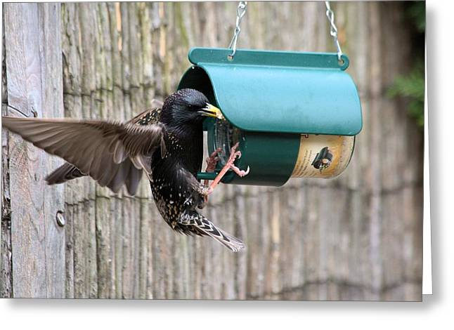 Starling On Bird Feeder Greeting Card by Gordon Auld