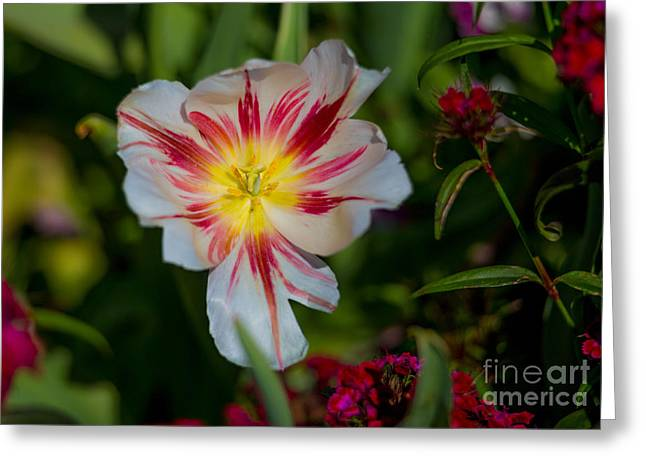 Starry Tulip Greeting Card by John Roberts