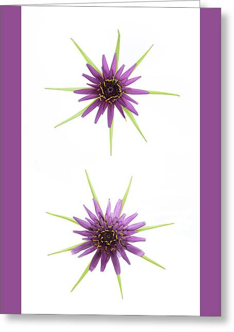 Stars Of Salsify Greeting Card