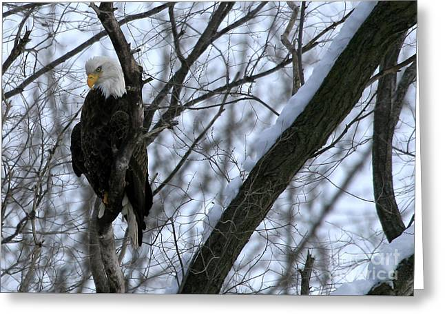Starved Rock Eagle Greeting Card by Paula Guttilla