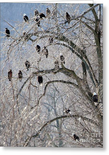 Starved Rock Eagles Greeting Card by Paula Guttilla