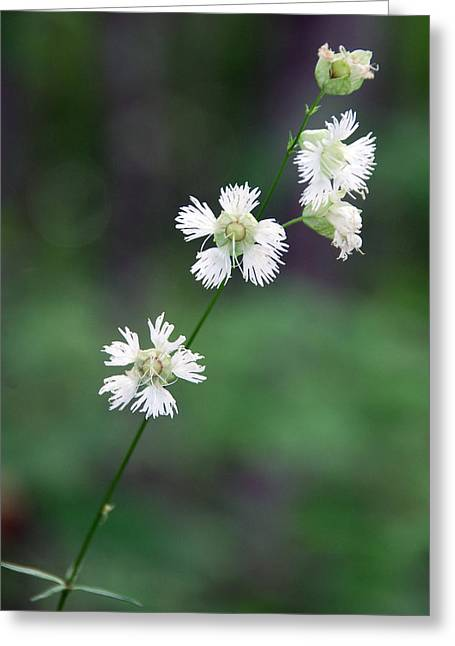 Stary Campion Greeting Card by Alan Lenk