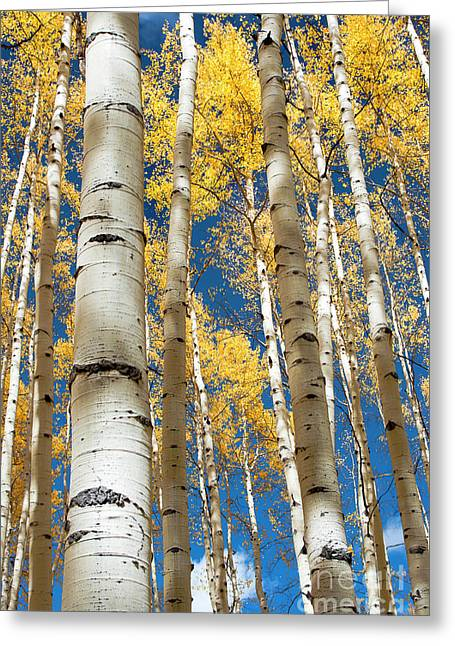 Greeting Card featuring the photograph Stately Aspens by The Forests Edge Photography - Diane Sandoval