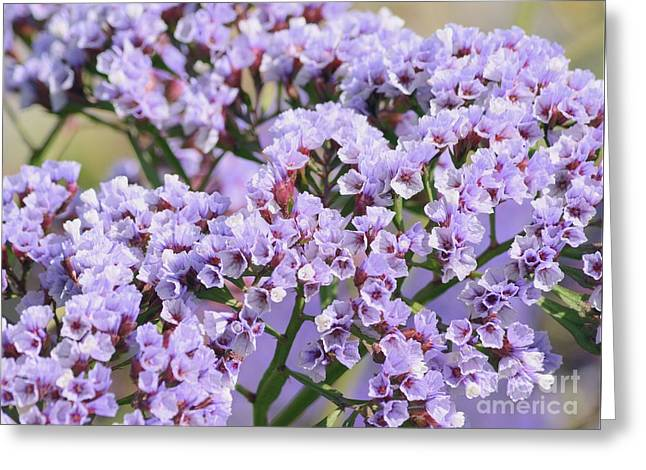 Statice Lavender Bloms Greeting Card by Luv Photography