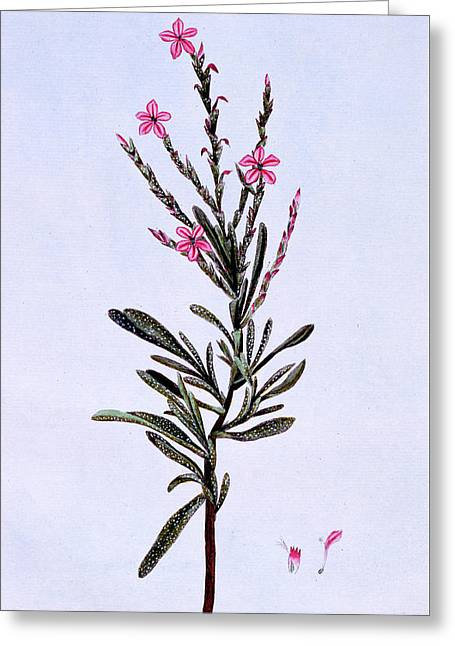 Statice, Phyllostachys Spicata Greeting Card by Pierre-Joseph Buchoz