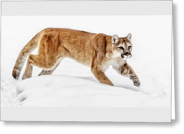 Stealth In The Snow Greeting Card by Wes and Dotty Weber