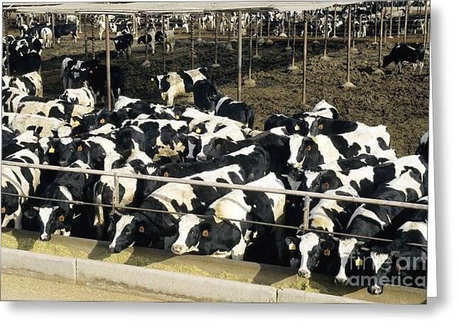 Steers In Feedlot Greeting Card
