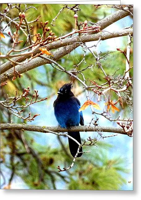 Stellar Jay Majesty Greeting Card by Will Borden
