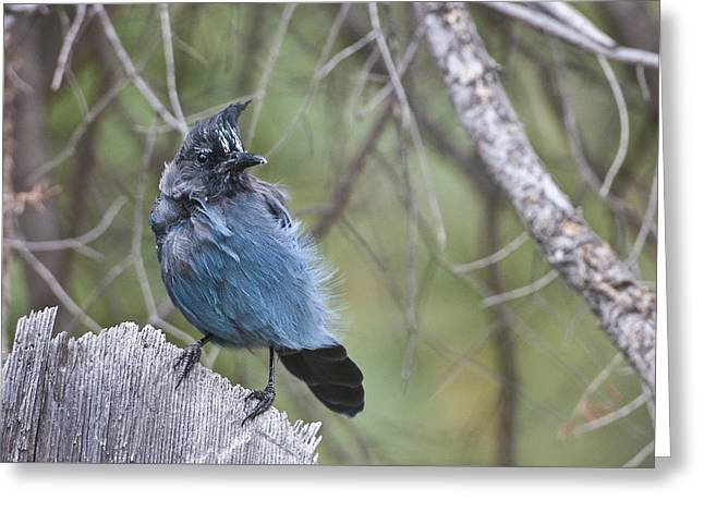 Greeting Card featuring the photograph Stellar's Jay by Gary Lengyel